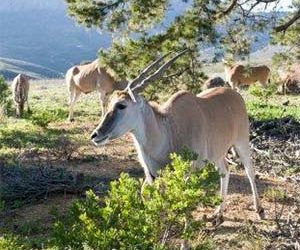 Technology teams up for eland conservation